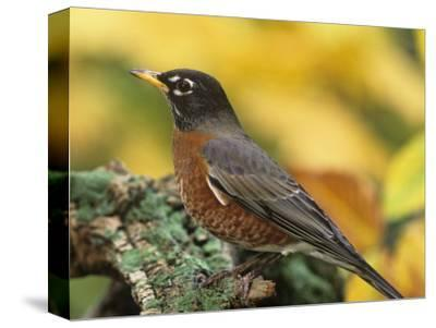 American Robin Male on a Snag (Turdus Migratorius). North America-Steve Maslowski-Stretched Canvas Print