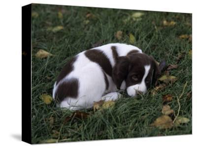 Brittany Spaniel Variety of Domestic Dog, 7 Week-Old Puppy-Cheryl Ertelt-Stretched Canvas Print