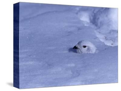 White-Tailed Ptarmigan, Lagopus Leucurus, in Winter Plumage Almost Buried by Snow, North America-Charles Melton-Stretched Canvas Print