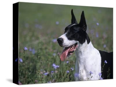 Great Dane Variety of Domestic Dog-Cheryl Ertelt-Stretched Canvas Print