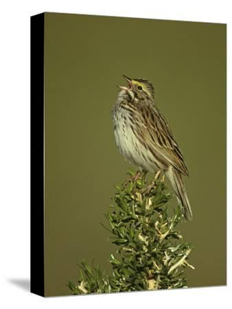 Savannah Sparrow Singing, Passerculus Sandwichensis, Western USA-John & Barbara Gerlach-Stretched Canvas Print