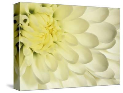 Close Up Of A White Chrysanthemum Flower Photographic Print By Adam