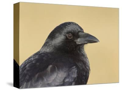 American Crow Head, Bosque Del Apache National Wildlife Refuge, New Mexico, USA-Arthur Morris-Stretched Canvas Print