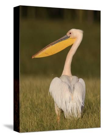 African White Pelican, Pelecanus Onocrotalus, Nakuru National Park, Kenya, Africa-Arthur Morris-Stretched Canvas Print