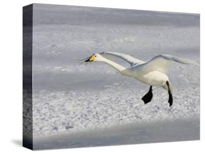 Whooper Swan in Flight, Olor Cygnus-John Cornell-Stretched Canvas Print