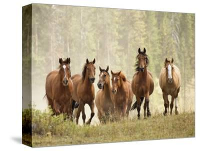 Horses on Ranch in Montana During Roundup-Adam Jones-Stretched Canvas Print