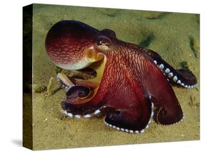 Warning Display of the Veined Octopus. (Octopus Marginatus) Indonesia-Mark Norman-Stretched Canvas Print