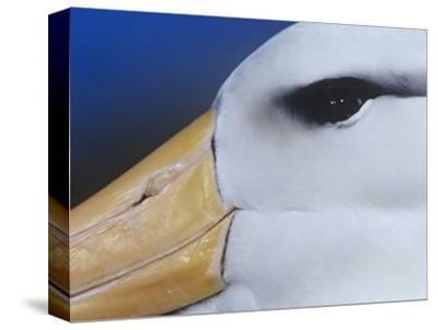 Black-Browed Albatross Eye and Upper Bill, Diomedea Melanophris, Falkland Islands-Joe McDonald-Stretched Canvas Print