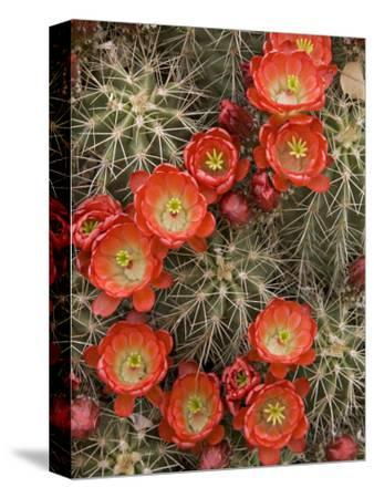 Claret Cup Cactus (Echinocereus Triglochidiatus) Blooming-Don Grall-Stretched Canvas Print