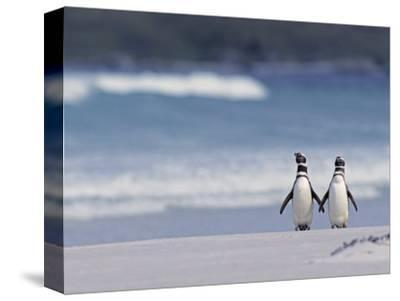 Magellanic Penguin Couple, Spheniscus Magellanicus, Falkland Islands-Joe & Mary Ann McDonald-Stretched Canvas Print