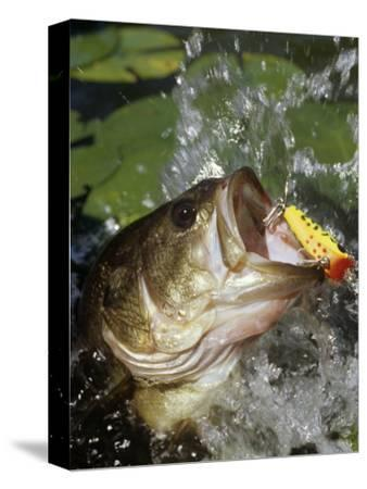 Largemouth Bass with Surface Lure-Wally Eberhart-Stretched Canvas Print