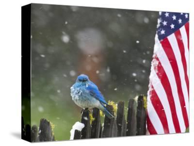 Male Mountain Bluebird (Sialia Currucoides) Waiting Out the 4th of July Snowstorm-Alexander Badyaev-Stretched Canvas Print