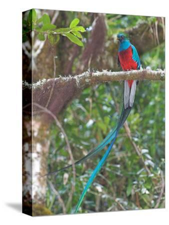 Resplendent Quetzal, Costa Rica-Glenn Bartley-Stretched Canvas Print