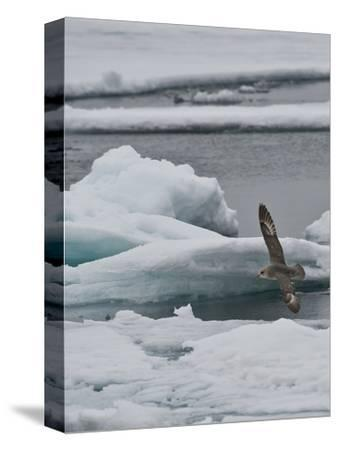 The Northern Fulmar (Fulmarus Glacialis), Spitsbergen Island, Svalbard, Norway-Buff & Gerald Corsi-Stretched Canvas Print