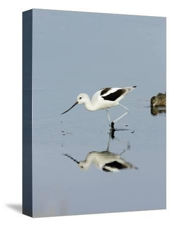 American Avocet (Recurvirostra Americana), Merritt Island National Wildlife Refuge, Florida-Marc Epstein-Stretched Canvas Print