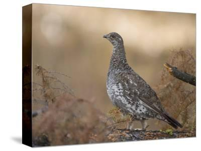 Blue Grouse, Dendragapus Obscurus, Western North America-Joe McDonald-Stretched Canvas Print