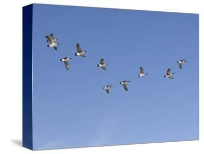 Flock of Canada Geese (Branta Canadensis), Montana, USA-Neal Mischler-Stretched Canvas Print