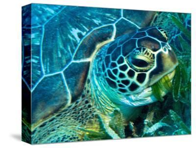 Green Turtle Feeding in Sea Grass Beds, Red Sea, Egypt-Louise Murray-Stretched Canvas Print