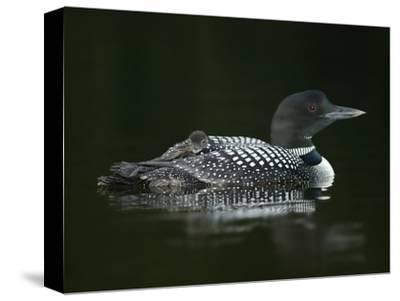 Common Loon with Baby on Back-Arthur Morris-Stretched Canvas Print