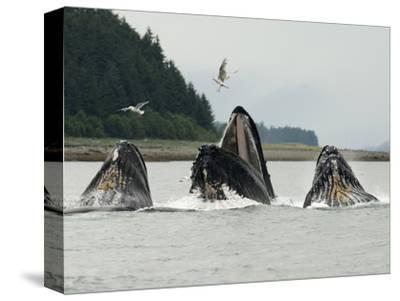 Humpback Whale Bubblenet Feeding,-Tom Walker-Stretched Canvas Print