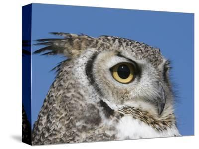 Great Horned Owl (Bubo Virginianus), San Juan Mountains, New Mexico-Tom Walker-Stretched Canvas Print