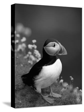 Puffin Portrait, Great Saltee Is, Ireland-Pete Oxford-Stretched Canvas Print