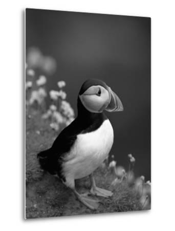 Puffin Portrait, Great Saltee Is, Ireland-Pete Oxford-Metal Print