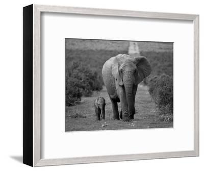 Mother and Calf, African Elephant (Loxodonta Africana), Addo National Park, South Africa, Africa-Ann & Steve Toon-Framed Photographic Print
