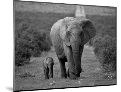 Mother and Calf, African Elephant (Loxodonta Africana), Addo National Park, South Africa, Africa-Ann & Steve Toon-Mounted Photographic Print