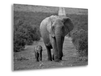 Mother and Calf, African Elephant (Loxodonta Africana), Addo National Park, South Africa, Africa-Ann & Steve Toon-Metal Print