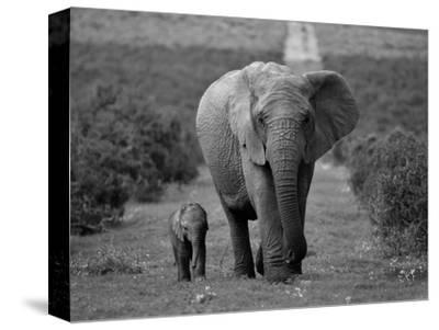 Mother and Calf, African Elephant (Loxodonta Africana), Addo National Park, South Africa, Africa-Ann & Steve Toon-Stretched Canvas Print