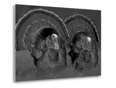 Wild Turkey Males Displaying, Texas, USA-Rolf Nussbaumer-Metal Print