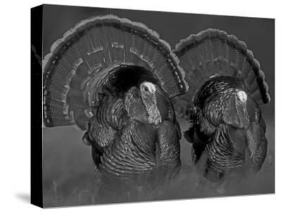 Wild Turkey Males Displaying, Texas, USA-Rolf Nussbaumer-Stretched Canvas Print
