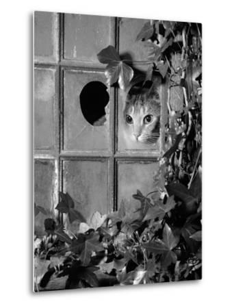 Tabby Tortoiseshell in an Ivy-Grown Window of a Deserted Victorian House-Jane Burton-Metal Print