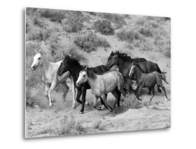 Group of Wild Horses, Cantering Across Sagebrush-Steppe, Adobe Town, Wyoming-Carol Walker-Metal Print