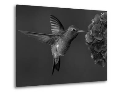 Broad-Billed Hummingbird, Male Feeding on Garden Flowers, USA-Dave Watts-Metal Print