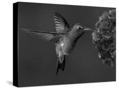 Broad-Billed Hummingbird, Male Feeding on Garden Flowers, USA-Dave Watts-Stretched Canvas Print