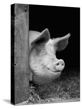 Domestic Pig Looking out of Stable, Europe-Reinhard-Stretched Canvas Print