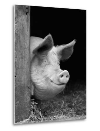 Domestic Pig Looking out of Stable, Europe-Reinhard-Metal Print