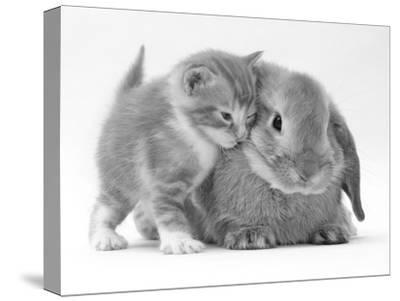 Domestic Kitten (Felis Catus) Next to Bunny, Domestic Rabbit-Jane Burton-Stretched Canvas Print