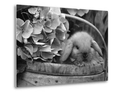 Baby Holland Lop Eared Rabbit in Basket, USA-Lynn M^ Stone-Metal Print