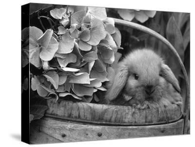 Baby Holland Lop Eared Rabbit in Basket, USA-Lynn M^ Stone-Stretched Canvas Print