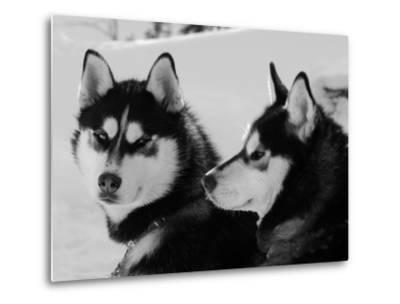 Siberian Husky Sled Dogs Pair in Snow, Northwest Territories, Canada March 2007-Eric Baccega-Metal Print