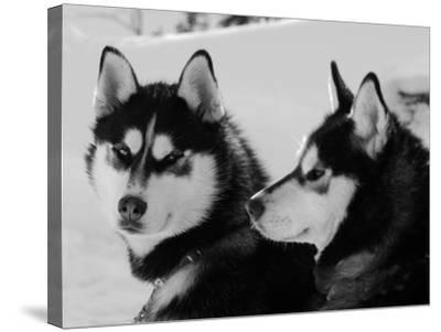 Siberian Husky Sled Dogs Pair in Snow, Northwest Territories, Canada March 2007-Eric Baccega-Stretched Canvas Print