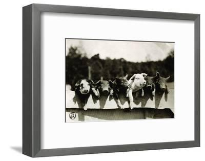 Row of Pigs Resting on Fence--Framed Premium Photographic Print