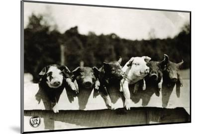 Row of Pigs Resting on Fence--Mounted Premium Photographic Print