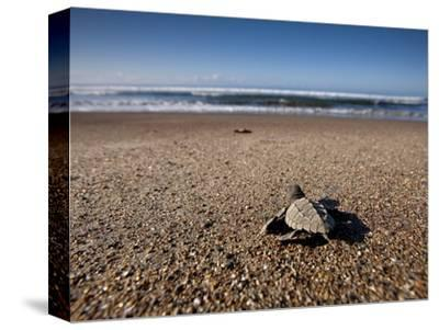 Hatchling Sea Turtle Heads to the Ocean--Stretched Canvas Print