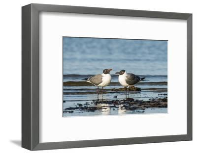 View of Laughing Gull Standing in Water-Gary Carter-Framed Premium Photographic Print