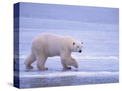Polar Bear Walking on Ice-DLILLC-Stretched Canvas Print