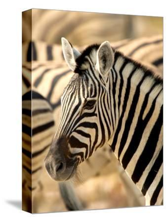 Zebra at Namutoni Resort, Namibia-Joe Restuccia III-Stretched Canvas Print